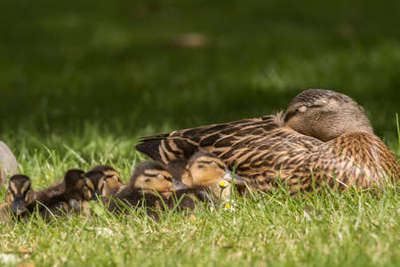 grass close up: Mallard family, on the grass, close up, sleeping