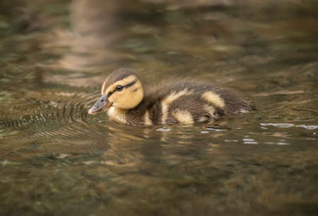 Mallard duckling, swimming in the river in the Spring