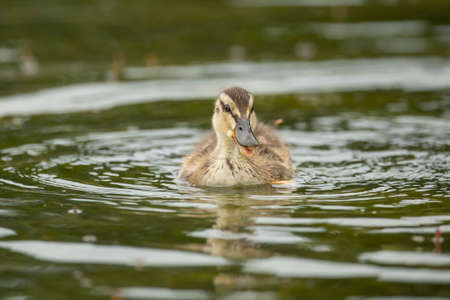 quacking: Mallard duckling, swimming in a pond, quacking
