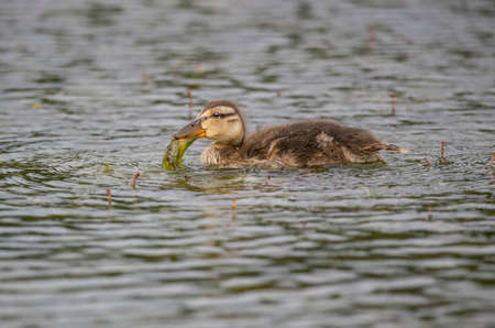 juveniles: Mallard duckling, swimming in a pond, eating pond weed