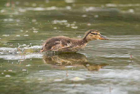 Mallard duckling, swimming across a pond, quickly