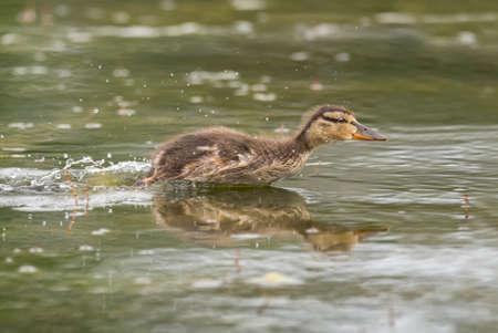 Mallard eendje, zwemmen in een vijver, snel