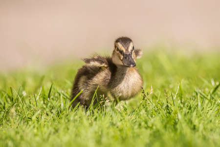 flapping: Mallard duckling, on the grass, flapping its wings
