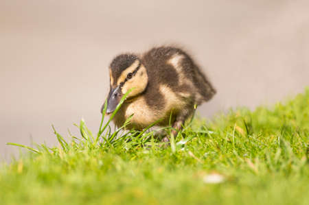 grass close up: Mallard duckling, on the grass, close up Stock Photo