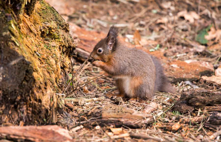 red squirrel: Red squirrel, Sciurus vulgaris, in the forest, eating a nut Stock Photo