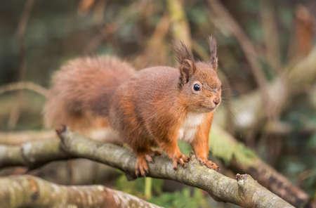 red squirrel: Red squirrel, Sciurus vulgaris, on a branch