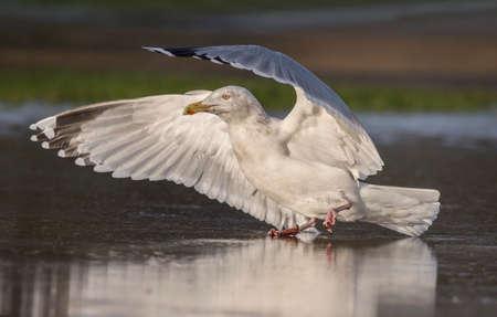 larus: Herring gull, Larus argentatus, flying from a frozen pond