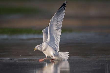 larus: Herring gull, Larus argentatus, skating on a frozen puddle