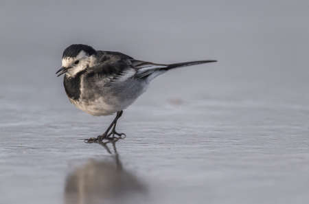tweeting: Pied wagtail, Motacilla alba standing on ice, tweeting