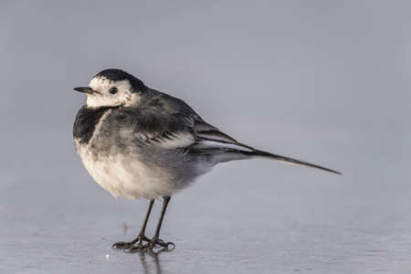 wagtail: Pied wagtail, Motacilla alba standing on ice
