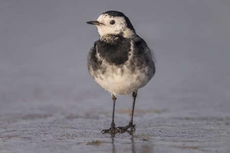 motacilla: Pied wagtail, Motacilla alba standing on ice