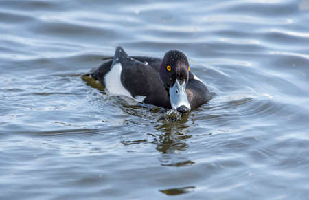 wildfowl: Tufted duck male on a pond, drinking, water, close up Stock Photo