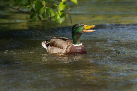 quacking: Mallard male, quacking on a pond