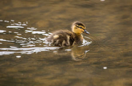 Mallard duckling, swimming in a pond