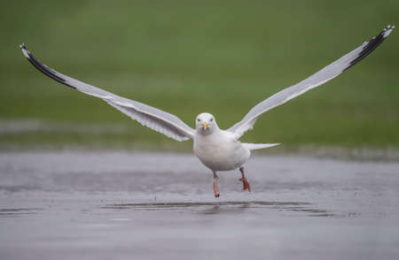 larus: Herring gull, Larus argentatus, flying from a frozen puddle