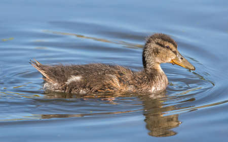 juveniles: Mallard duckling, swimming in a pond, close up