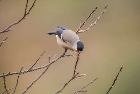 perched: Bullfinch, female, perched on a branch, eating Stock Photo