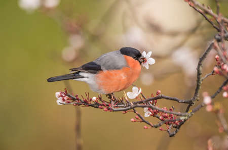 Bullfinch, male, perched on a branch, close up with a flower in its beak