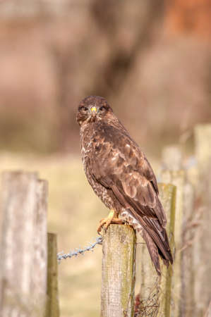 buteo: A Buzzard, Buteo buteo, perched on a fence post