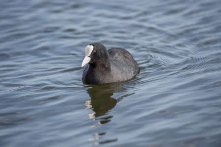 fulica: A Coot, Fulica, swimming on a loch Stock Photo