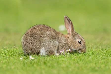 nibbling: Rabbit sitting on the grass, eating