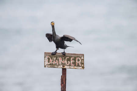 danger sign: Cormorant, Phalacrocorax carbo, perched on a danger sign