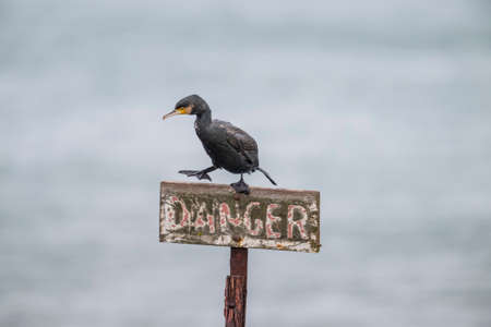 carbo: Cormorant, Phalacrocorax carbo, perched on a danger sign