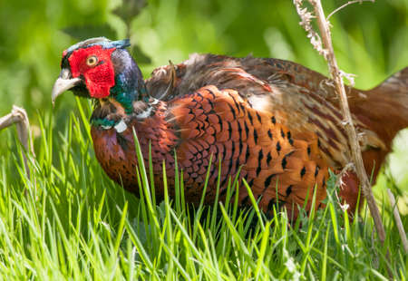 natural cock: Pheasant, Phasianus colchicus, in the grass, close up Stock Photo