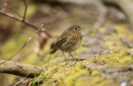 redbreast: Robin redbreast, juvenile, Erithacus rubecula, perched on a tree trunk Stock Photo