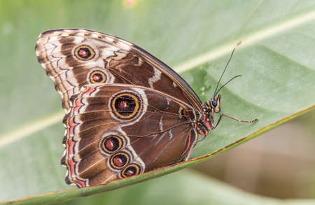 lepidoptera: Blue morpho Butterfly on a plant Stock Photo