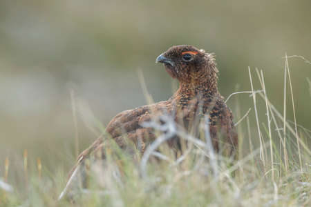 moorland: Red Grouse, male, on Scottish moorland, Close up Stock Photo