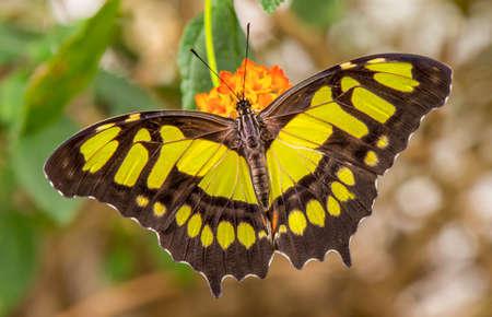 Malachite Butterfly on a flower