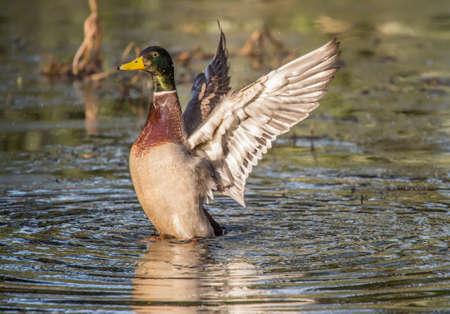 displaying: Mallard male displaying on a pond, close up Stock Photo