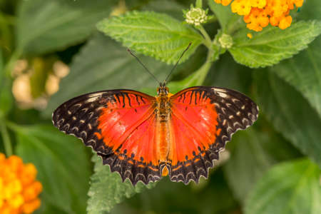 biblis: Red Lacewing Butterfly on a plant Stock Photo