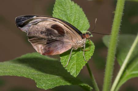 grecian: Grecian Shoemaker, Butterfly on a leaf