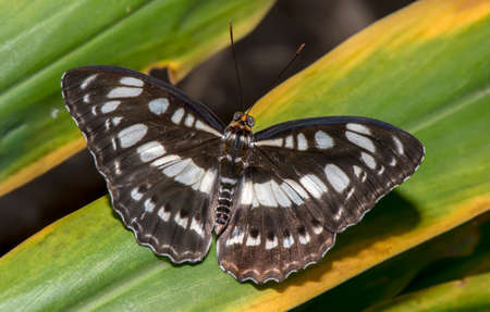 sergeant: Common Sergeant, Butterfly on a leaf Stock Photo