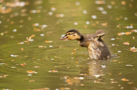 wildfowl: Mallard duckling on a river, close up, displaying Stock Photo