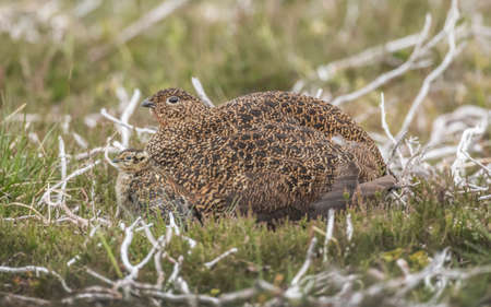 grouse: Red Grouse, female and juvenile on Scottish moorland