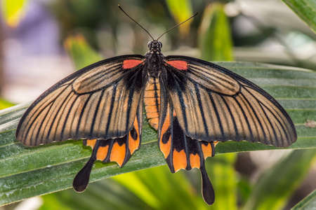 lows: Great Yellow Mormon Butterfly on a plant