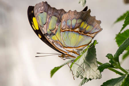 lepidoptera: Malachite Butterfly on a leaf