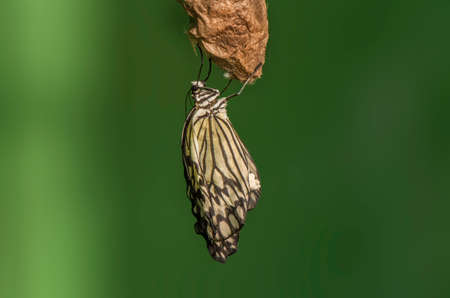pupa: Tree nymph Butterfly on an Owl pupa