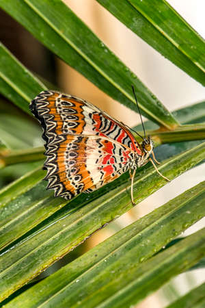 lacewing: Red Lacewing Butterfly on a plant Stock Photo