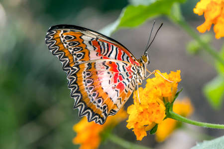 biblis: Red Lacewing Butterfly on a flower