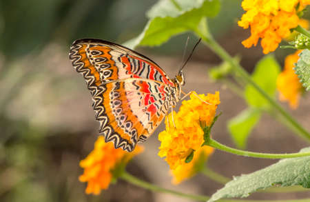 lacewing: Red Lacewing Butterfly on a flower