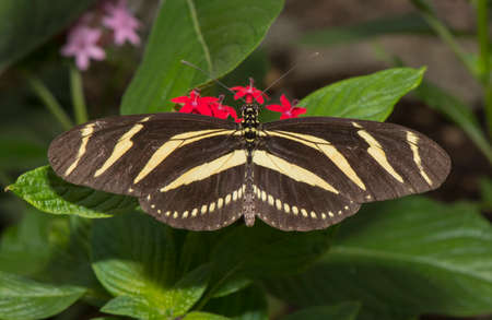 longwing: Zebra longwing, Butterfly on a flower Stock Photo