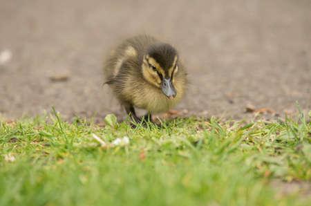 mallard: Mallard duckling on the ground Stock Photo