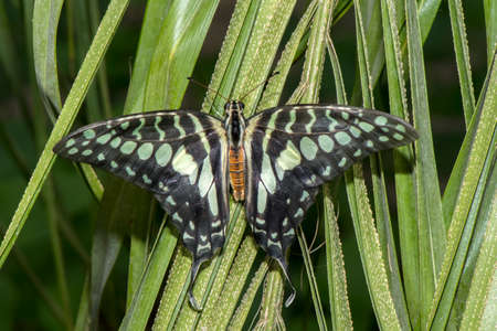 lepidoptera: Coastal Swordtail Butterfly Stock Photo