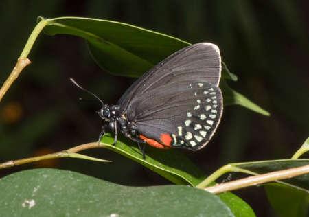 Atala butterfly Stock Photo