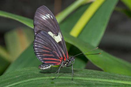 longwing: Doris Longing butterfly