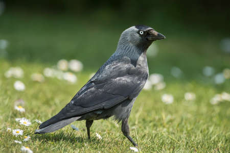 jackdaw: Jackdaw, Corvus monedula, on the grass, close up